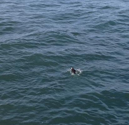 It is a puffin....honest!