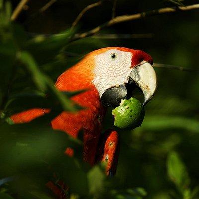 Feeding on wild fruits