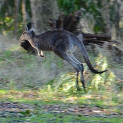 Wallaby on the bound