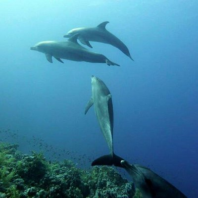Swimming with dolphins in Ras Mohamed (Ras Ghozlani Reef)