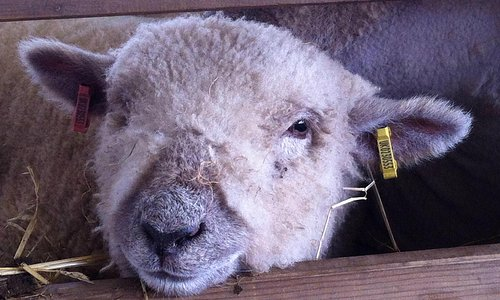 Lots of Sheep!