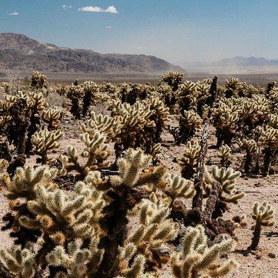 Pinto Basin Cholla Cactus Garden