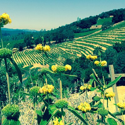 Our Serene Cellars Vineyards on Howell Mountain, Napa Valley, CA--Summer 2014