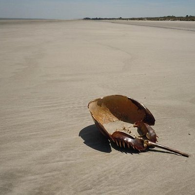 Horseshoe crab on th beach at Blackbeard