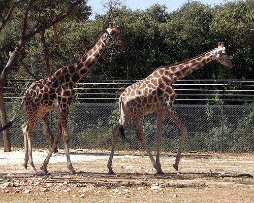 Les Girafes en ballade