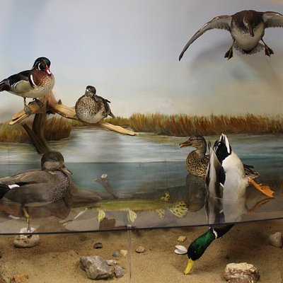 Waterfowl Dioramas!