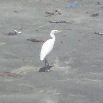 Intermediate Egret at Tanji waterfront.