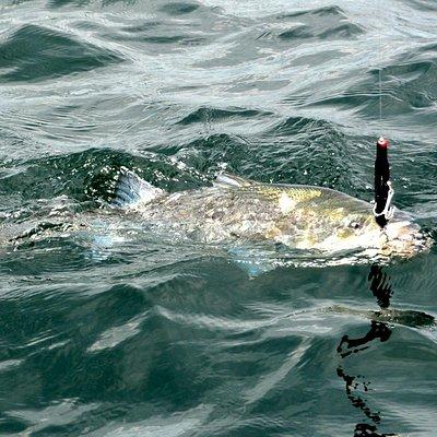 Topwater striped bass fishing