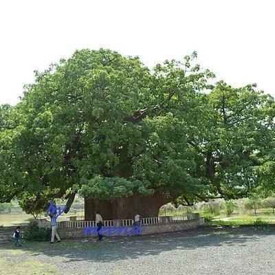 ALGHAREEB TREE