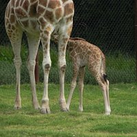 A new baby Giraffe