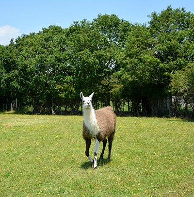 Lama at the Farm