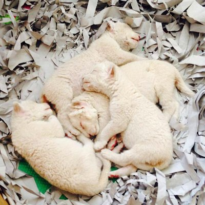 Cachorros de león blanco nacidos en el Zoo