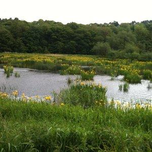 Yellow flag Iris's in Springtime