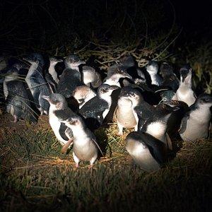 Little Blue Penguin Colony - Pilots Beach