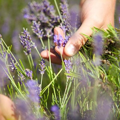 Hand cutting the lavender