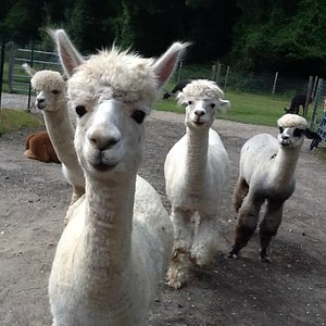 """General Patton leads his men ... (yes, the lead alpaca's name is really """"General Patton!"""")"""