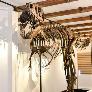 The first and only junior T-Rex skeleton ever found in the world.