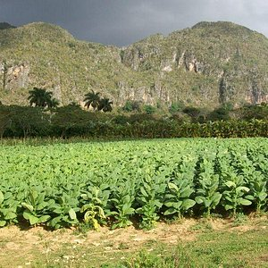 tobacco field and mogotes