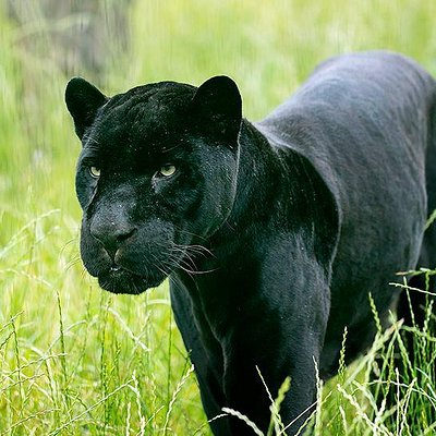 Black jaguar male