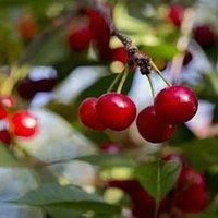 Montmorency tart cherries ripening on the tree.