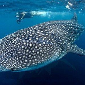 Whale Shark Diving!