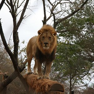 One of the majestic lions