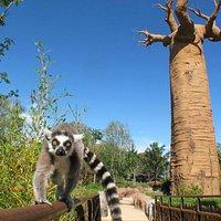 Madagascar: Lemure Catta