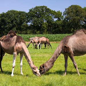 Camels grazing in the field at Camel Dairy Smits