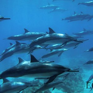 Huge pod of Nai'a (Dolphins)