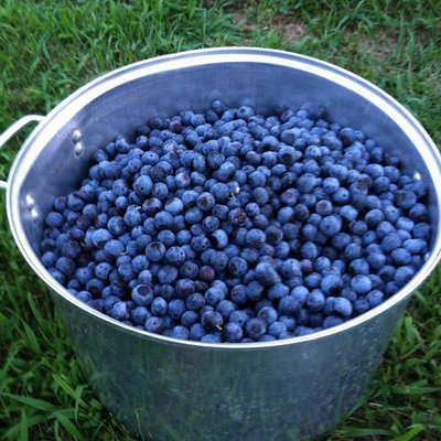 Holcombs blueberries