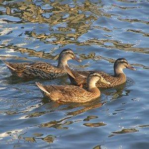 Mallard Ducks swimming in the Halifax River at Daytona Beach