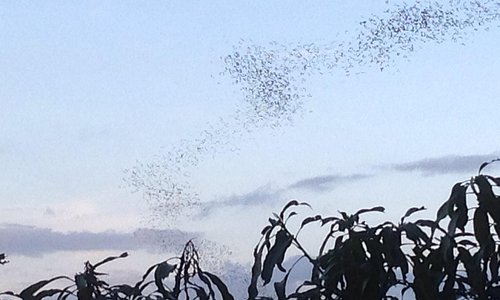 Bats fly for miles from Cha Am