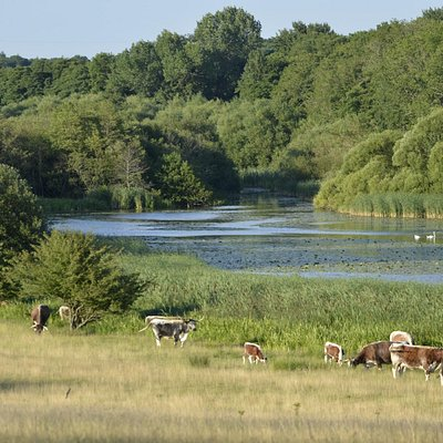 Knepp Lake and Cattle