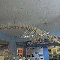 Esqueleto de Golfinho