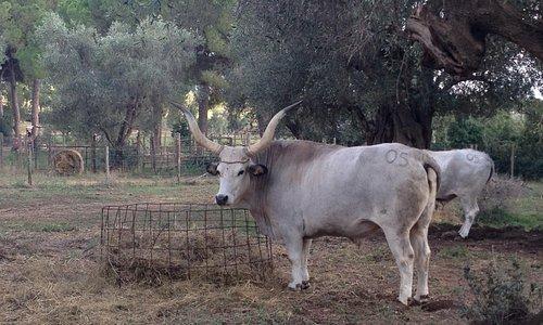Vacche maremmane nella fattoria didattica