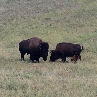 Bison - July 2014