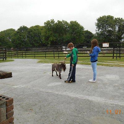 Friendly Goat!