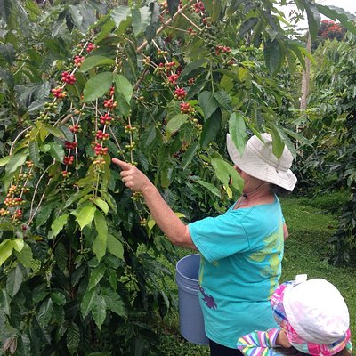 Picking coffee with Una.
