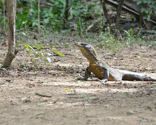 Komodo di Loh Liang