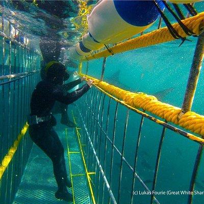 Shark cage diver underwater
