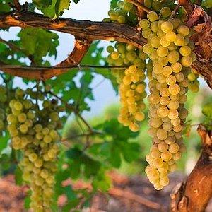 Vineyard Wine Routes Mallorca