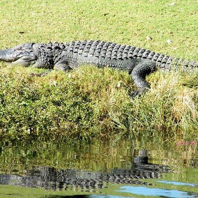 Gator along the course