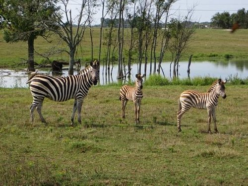Mom and 2 baby zebras