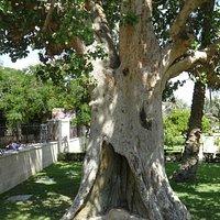 об этом дереве упоминается в Евангелии от Луки