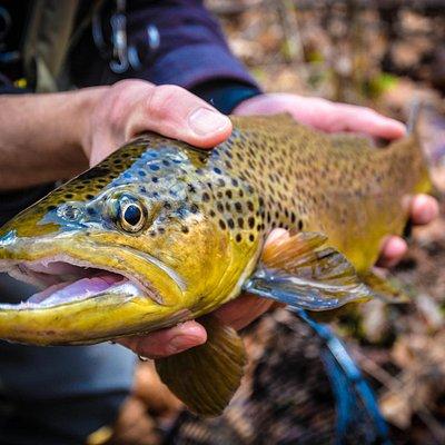 Big Brown on the Watauga River