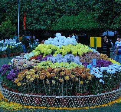 different varieties Chrysanthemum
