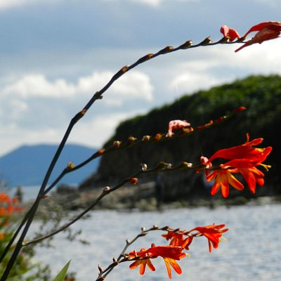 Montbretia and Kerry hills