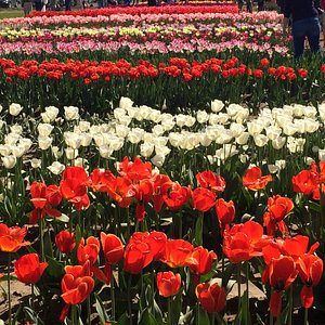 Bulbs for sale; these tulips display only