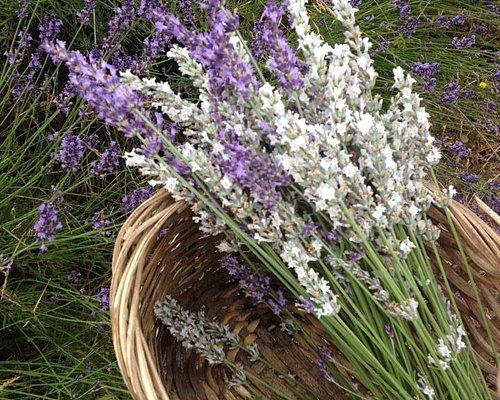 Fresh picked lavender