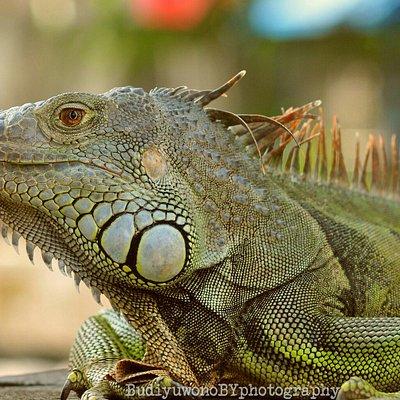 Iguana. Salah satu koleksi di Taman Satwa, Balekambang.